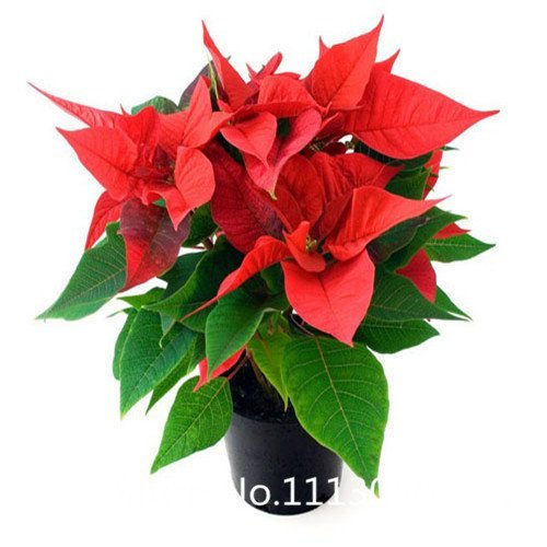 Promotion 300 pcs  bag Poinsettia seeds DIY potted plants indoor  outdoor pot flower seeds germination rate of 95 mixed co