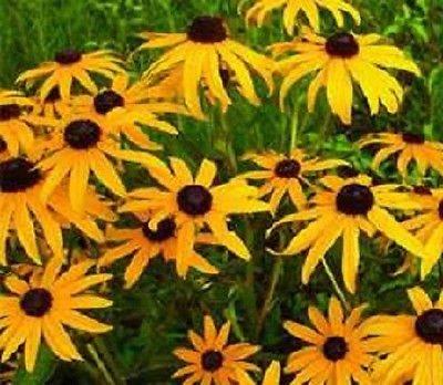 5000 Black Eyed Susan Seeds Garden Starts Flower Seeds