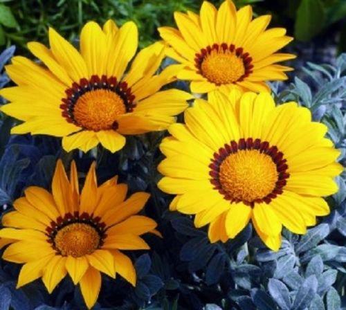 50 Seeds Gazania Frosty Kiss Yellow Flower Seeds Garden Starts