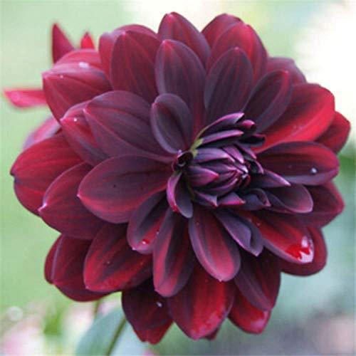 Arabian Night Flowering Dahlia Bulb 1 PCS Plant Root Start