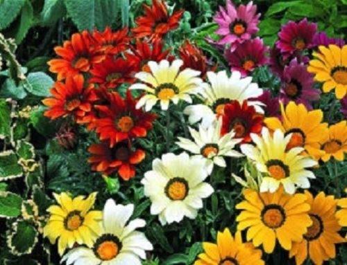 Gazania Seeds Kiss Mix 50 Flower Seeds Garden Starts