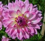 Kordessa Flowering Dahlia Bulb Plant Root start