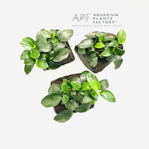 3 Pack Anubias Nana Petite on Driftwood Freshwater APF Live Aquarium Plants