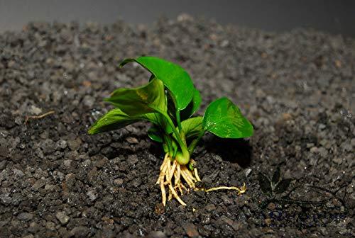 ANUBIAS Nana Bonsai ONE Plant-Freshwater Aquatic Live Plants