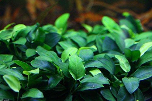 Anubias Nana Petite Loose Rhizome 12 Leaves Live Aquarium Plants
