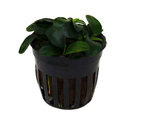 Cheap Fresh Aquatic Anubias Nana Petite Plant - Pot Easy Grow Get 1HPS01YN