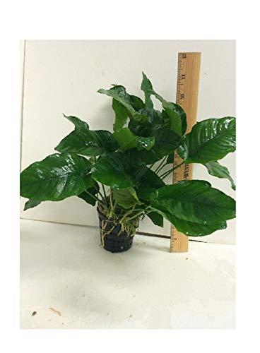 Live Aquatic Plant Fresh Water anubias Nana Mother Pot m008 1 pcs