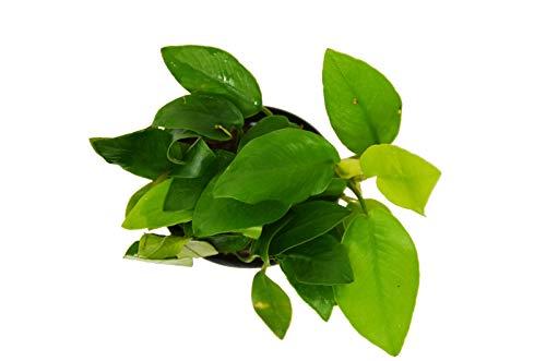 Live Plant - Aquatic Anubias Nana Golden Plant - Pot - N4