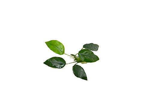 Loose Live Plant - Aquatic Anubias Nana Plant - Live Plant - N4