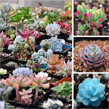 200pcs Mix Succulent seeds Lithops Pseudotruncatella Bonsai plants Seeds for home garden