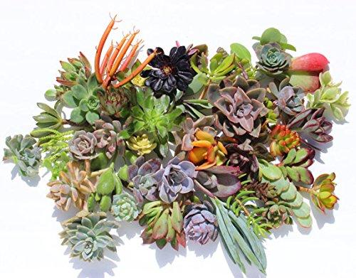 30 colorful succulent cuttings