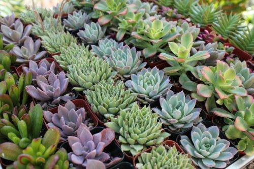 Shop Succulents Premium Pastel Succulent collection Of 20