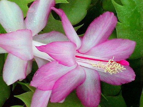 Lavender Christmas Cactus Plant-Zygocactus - 4 pot