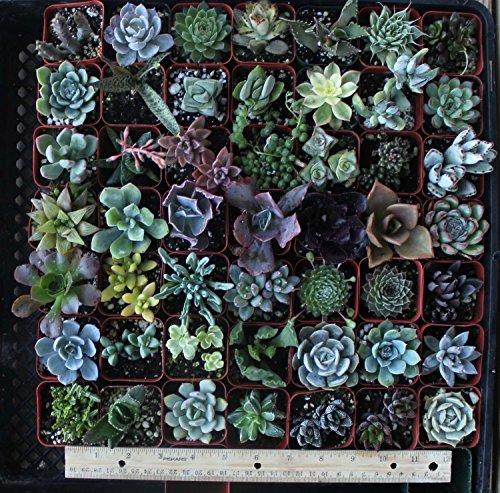 30 Assorted 2&quot Succulent Plants
