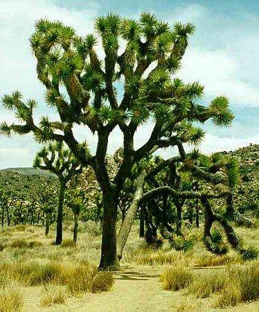 Joshua Tree 10 Seeds - Yucca brevifolia - Cactus