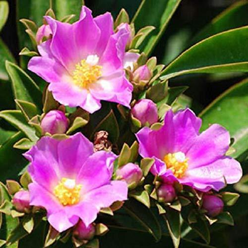 Pereskia grandifolia Exotic Flowering Rare Cacti Seed Cactus Tree Aloe 25 Seeds