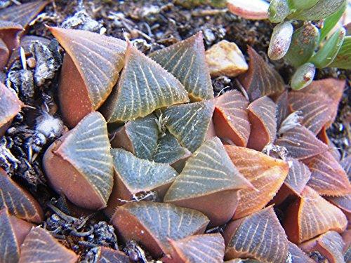 HAWORTHIA MUTICA NIGRA exotic rare succulent bonsai cactus cacti aloe 10 seeds