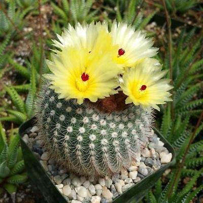 NOTOCACTUS OR PARODIA SCOPA CACTUS CACTI REAL LIVE PLANT