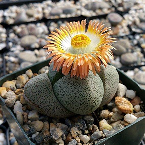 PLEIOSPILOS NELII SUCCULENT MESEMBS SPLIT ROCK CACTUS CACTI SUCCULENT PLANT