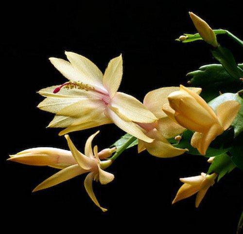 Yellow Christmas Cactus Plant - Zygocactus - 4&quot Pot