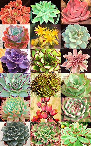 20 Seeds ECHEVERIA Variety Mix Rare Plant Exotic Succulent Seed Flowering Pot