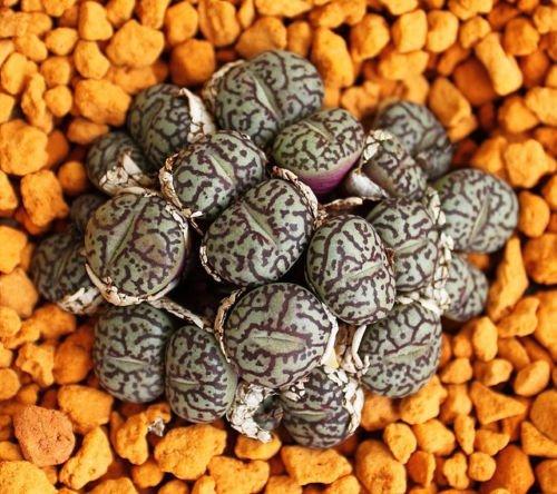 Conophytum Minimum Wittebergense rare mesembs exotic succulent stones 100 SEEDS