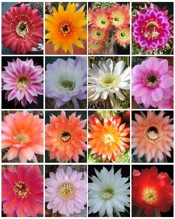 Echinopsis Variety Mix Sold By Exotic Cactus Rare Night Blooming Cacti Easy To Grow Huge Flowers Succulents Seed