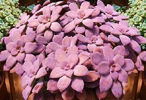 Graptopetalum Pentandrum Exotic Succulent Rare Mesembs Flowering Plant 15 Seeds