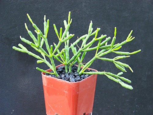 Hatiora Salicornioides Exotic Rare Succulent Plant Cacti Cactus Bonsai Outdoor Agave 2&quot