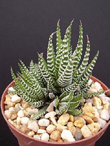 Haworthia Attenuata Zebra Zebrina Exotic Rare Succulent Cactus Plant Cacti 4&quot