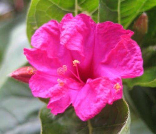 Mirabilis jalapa rare flowering succulent seed 5 seeds
