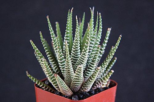 Haworthia Attenuata Zebra Zebrina Exotic Rare Succulent Cactus Plant Cacti 2&quot
