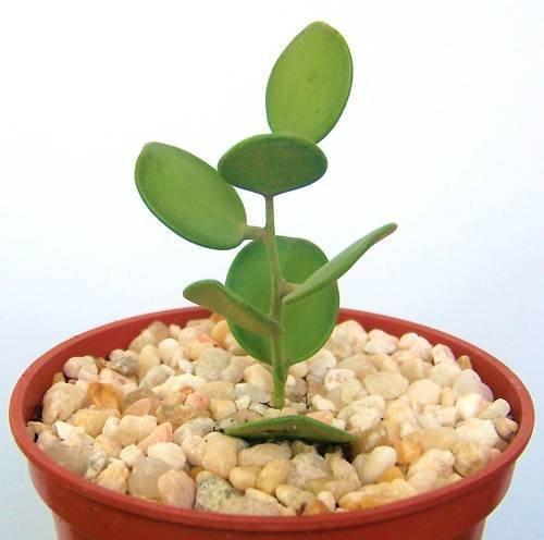 Xerosicyos danguyi rare succulent plant cactus vine 4