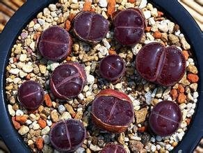 LOSS PROMOTION SALE 20pcs Wholesale 100 authentic Mix Lithops seeds Succulent Plants seed rare plants Bonsai organic seeds