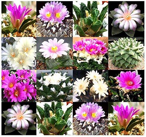 5 X Ariocarpus Species Seed Rare Mix Rock-like Form And Textured Cactus Succulent Aka Living Rocks Fresh Seeds