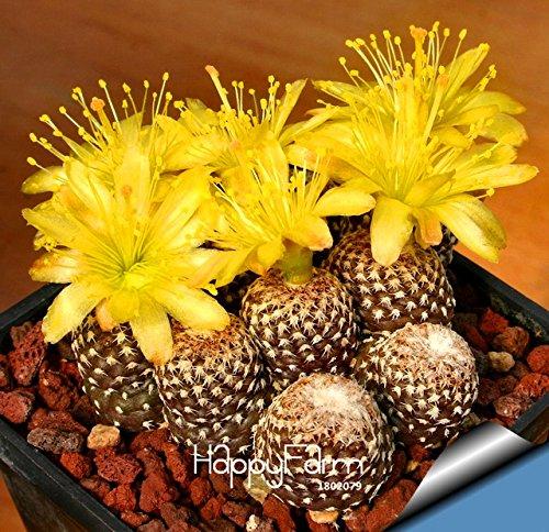 Best-Selling10pcsLot cactus Rebutia variety flowering color cacti rare cactus seed office mini plant succulent