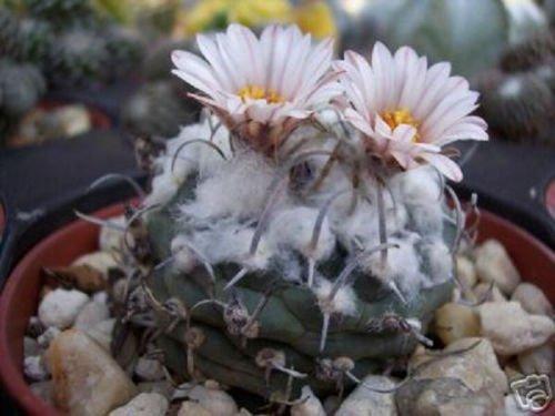 Turbinicarpus schmiedickeanus exotic niniature mexican rare cactus seed 50 SEEDS