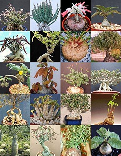 Caudex Plants Mix Rare Base Plant Exotic Caudiciform Succulents Bonsai 20 Seeds