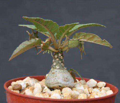 Dorstenia foetida exotic bonsai caudex rare succulent plant cactus cacti 4 pot