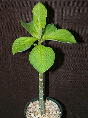 Synadenium grantii African milkbush exotic cacti rare succulent plant 4 pot