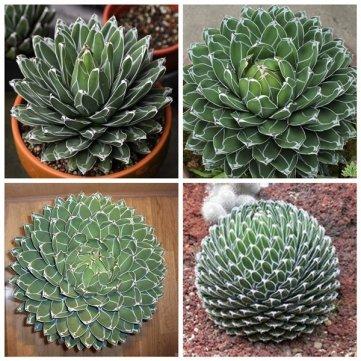 10pcs Agave Victoriae Reginae Seeds Maguey Seeds Succulent Plant Seeds