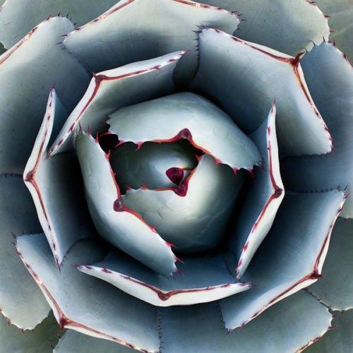 AGAVE PARRYI TRUNCATA rare succulent artichoke exotic garden aloe seed 100 SEEDS