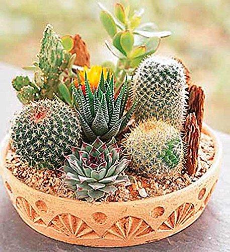 Cactus Seeds Mix Organic Ornamental Seed