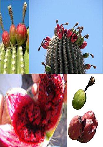 10 PC Saguaro Cactus Seeds Giant Desert Plant-M