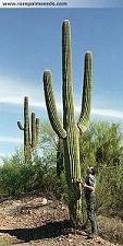 Saguaro Seeds - Carnegiea Gigantea 15 Fresh Seeds