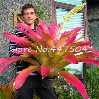 AGROBITS 100 Pcs Rainbow Bromeliad Tillandsia Bonsai Rare Succulent Fresh Air Plant Very Easy Growing Lazy Plants Bonsai for Home Garden 11