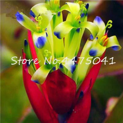 AGROBITS 100 Pcs Rainbow Bromeliad Tillandsia Bonsai Rare Succulent Fresh Air Plant Very Easy Growing Lazy Plants Bonsai for Home Garden 24