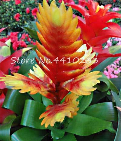 AGROBITS 100Pcs Bonsai Colorful Cactus Bromeliad Tillandsia Bulbosa Air Plant Easy Growing Succulent Bonsai for Home Garden j