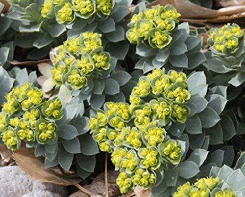 Cutdek Euphorbia myrsinites Seeds Myrtle Spurge - an Attractive Low Growing Succulent Evergreen Perennial Packet 100 Seeds