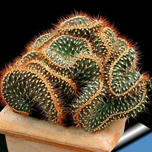 100Pcs Mini Cactus Astrophytum Succulents Potted Plants Seeds DIY Home Garden - Cactus Seeds
